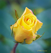 Mikki Cucuzzo Metal Prints - Budding Yellow Rose Metal Print by Mikki Cucuzzo