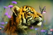 Tiger Digital Art Prints - Buddy and the Butterfly Print by Trudi Simmonds