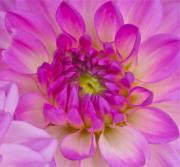 Photograph Of Dahlia Prints - Buddy Up Close Print by Gwyn Newcombe