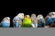 Animals Photos - Budgerigar by Jim McKinley