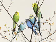 Colored Background Art - Budgies Grouped On A Branch by Walker and Walker