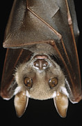 Bat Photos - Buettikofers Epauletted Bat Epomops by Ingo Arndt