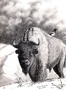 American Bison Drawings Prints - Buffalo and Magpie Print by Evan  Jenkins