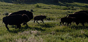 Buffalo Originals - Buffalo Bison Roaming in Custer State Park SD.-1 by Paul Cannon