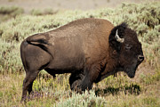 Bufffalo Photos - Buffalo Bull by D Robert Franz