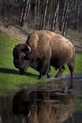 Natural Habitat Posters - Buffalo By River Bank Poster by Richard Wear