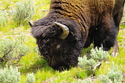 Bison Photos - Buffalo Grazing by Jeff  Swan