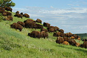 Bison Art - Buffalo Herd by Ernie Echols