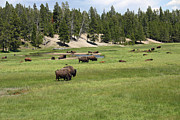 Wyoming Wildlife Framed Prints - Buffalo Herd Framed Print by Geary Barr