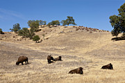 American Bison Photo Originals - Buffalo Herd by Ovidiu Hrubaru
