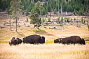 Yellowstone National Park Posters - Buffalo in Golden Grass Poster by Cindy Singleton