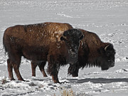Buffalo Photos - Buffalo in Snow by Ernie Echols