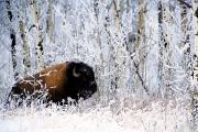 Winter Scenes Prints - Buffalo In The Snow Print by Richard Wear