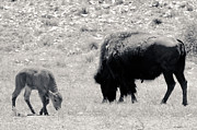 White Buffalo Greeting Card Posters - Buffalo Mother and Baby Poster by Julie Niemela