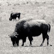 White Buffalo Greeting Card Posters - Buffalo Near Zion Poster by Julie Niemela