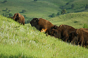 Bison Mixed Media Prints - Buffalo on Hillside Print by Ernie Echols