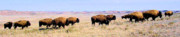 Bison Photos Posters - Buffalo Range in Kansas Poster by Cheryl Poland