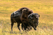 Ungulates Posters - Buffalo  Poster by Robert Bales