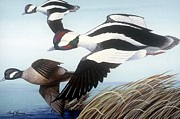 Waterfowl Paintings - Buffelhead Duck by Barry Louwerse