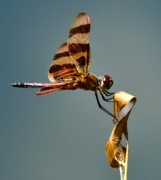 Dragon Fly Photo Prints - Bug Olympics XVII Print by Charles Dobbs