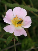 Dogrose Photos - Bug On Dogrose by Christiane Schulze
