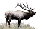 Elk Photographs Photo Prints - Bugle Time Print by Don Ellis