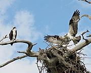 Osprey Prints Framed Prints - Build Your Own Home Framed Print by LaMarre Labadie