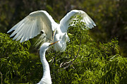 Great White Egrets Framed Prints - Building Our Home Framed Print by Carolyn Marshall