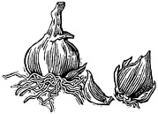 Linocut Prints - Bulbs Of Garlic, Woodcut Print by Gary Hincks