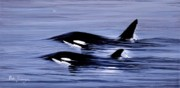 Orca Paintings - Bulging Orcas by Bob Patterson