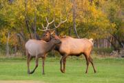Lightning Wall Art Prints - Bull and Cow Elk - Rutting Season Print by James Bo Insogna