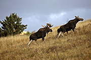 Bull Moose Photos - Bull cow and moose calf in the Cypress Hills Park by Mark Duffy