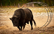 Bulls Metal Prints - Bull Dust Metal Print by Heather Thorning
