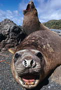 Pinniped Framed Prints - Bull Elephant Seals Framed Print by George Holton and Photo Researchers