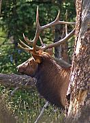 Bull Elk Posters - Bull Elk 2 Poster by Heather Coen