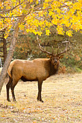 Colorado Western Gallery Prints - Bull Elk Autum Portrait ll Print by James Bo Insogna