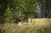 Elk Wildlife Prints - Bull Elk Print by Chad Davis