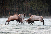Boxley Valley Prints - Bull Elk Fighting in Boxley Valley Print by Michael Dougherty