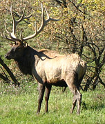 Rack Posters - Bull Elk  Poster by The Kepharts 