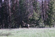 A Stamp - Bull Elk in the Meadow