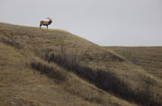 Bull Elk Digital Art Posters - Bull Elk on Hill Poster by Mark Duffy