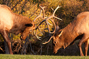Sparring Prints - Bull Elk Sparring 80 Print by James Bo Insogna