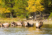 Elk Photographs Photo Prints - Bull Elk Watching Over Herd 5 Print by James Bo Insogna
