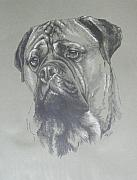 Purebred Drawings - Bull Mastiff by Barbara Keith