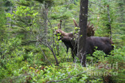 Lonesome Acrylic Prints - Bull Moose  - White Mountains New Hampshire  Acrylic Print by Erin Paul Donovan
