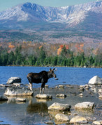 Mount Katahdin Prints - Bull Moose and Mount Katahdin Print by John Burk