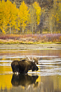 Bull Moose Posters - Bull Moose at Oxbow Bend Poster by Mike Cavaroc