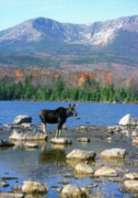 Baxter Framed Prints - Bull Moose below Mount Katahdin Framed Print by John Burk