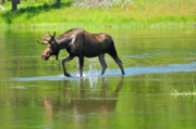 Moose Photos - Bull Moose by Greg Norrell