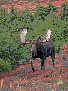Moose Digital Art Metal Prints - Bull Moose in Autumn- Abstract Metal Print by Tim Grams
